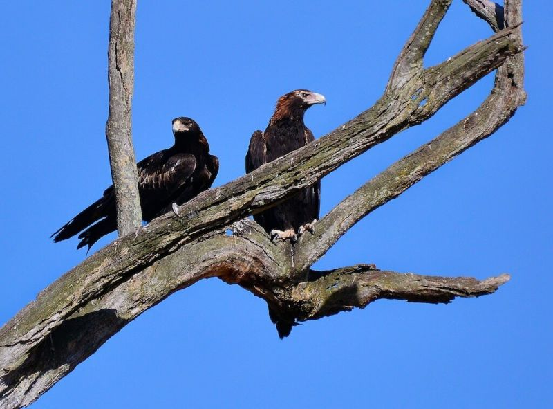 Wedge-tailed Eagles, Australia