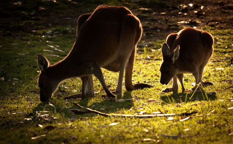 Western greys kangaroos at Yanchep NP