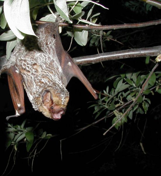 Hoary Bat photo