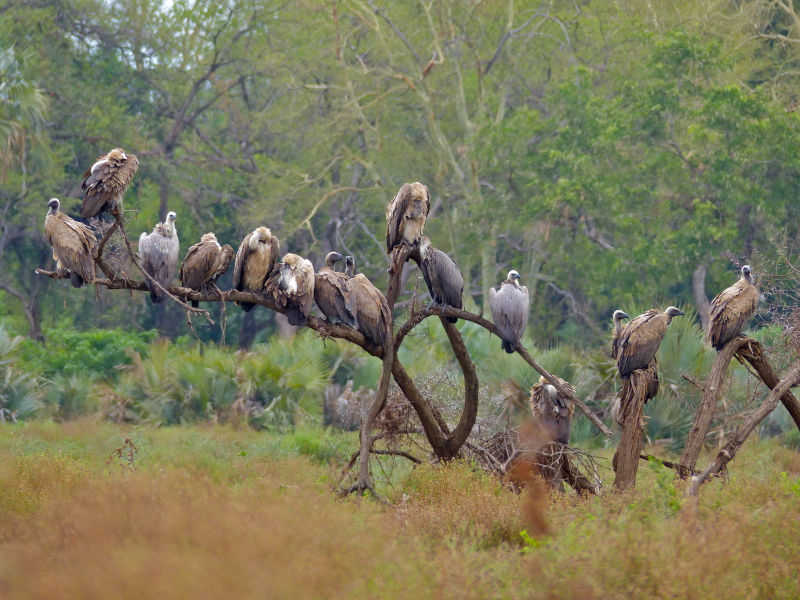 White-backed Vultures (Gyps africanus)