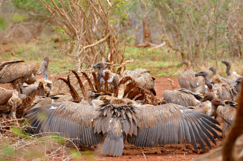 White-backed Vultures (Gyps africanus) on giraffe carcass ...