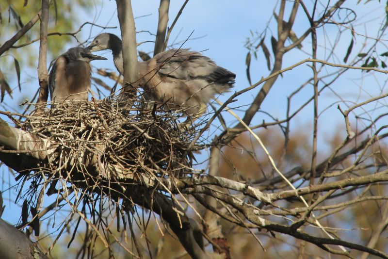 white faced heron chicks