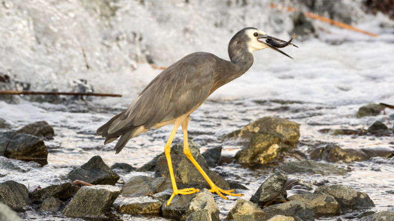 White-faced Heron with fish