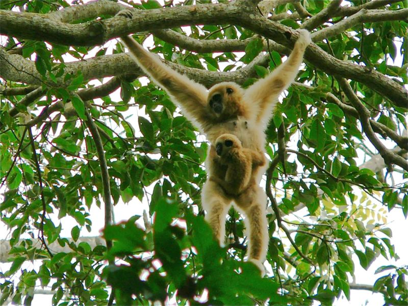 White-handed Gibbon (Hylobates lar) female with baby