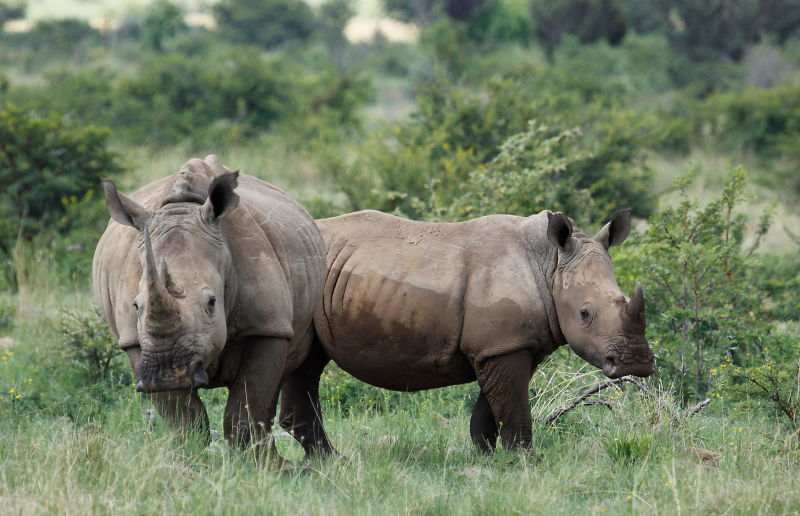 White rhinoceros or square-lipped rhinoceros, Ceratotherium simum. Note that in some of these photos there are a female with a calf, and a male that seems to have been challenging the calf.