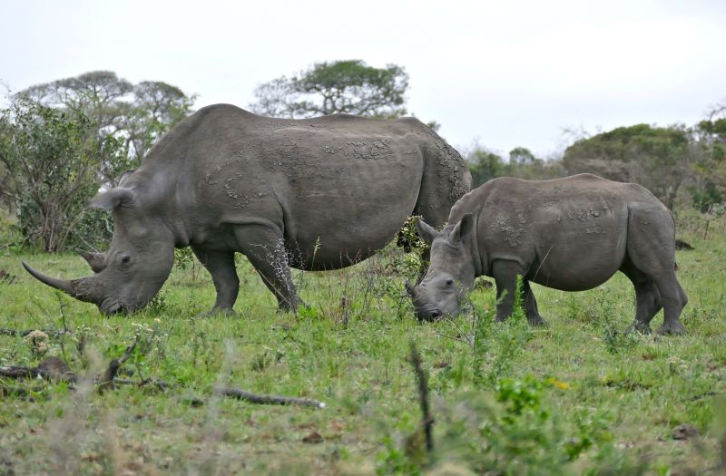 White Rhinos (Ceratotherium simum) female and young