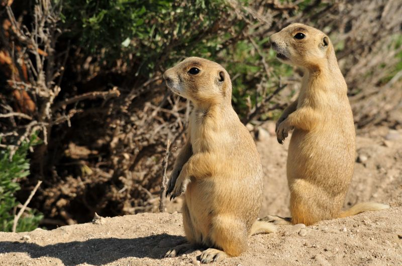 White-Tailed Prairie Dogs on Seedskadee National Wildlife Refuge
