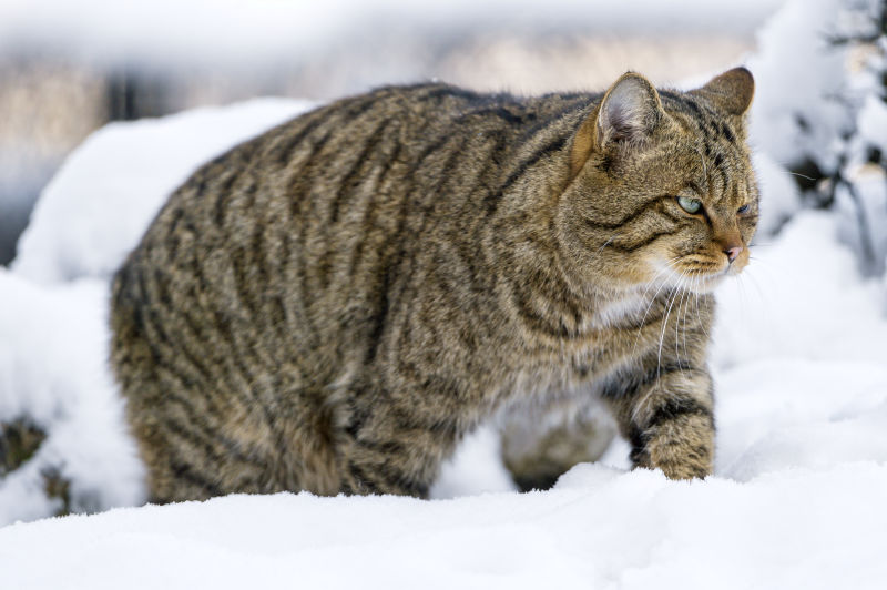Wild cat walking in the snow II