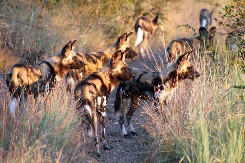 wild dog pack, Madikwe