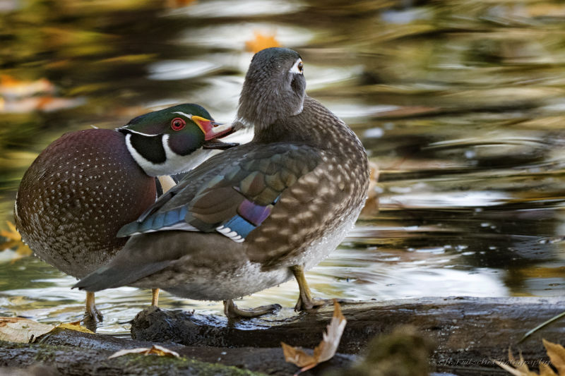 Wood Duck / Canard branchu / Wood Duck / Aix sponsa