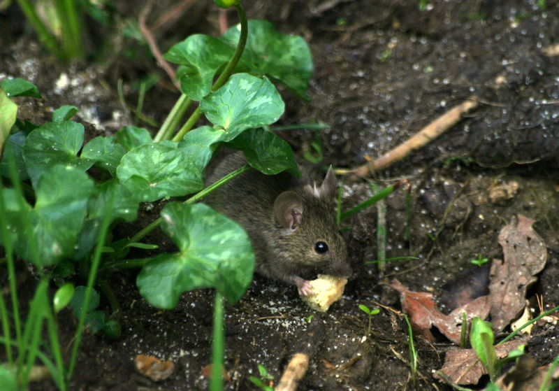 woodmouse with biscuit