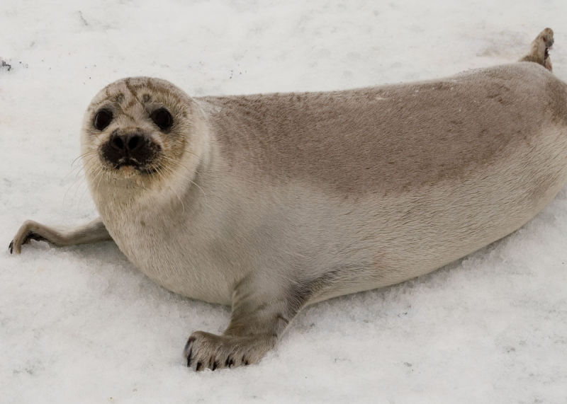 Yearling Ribbon Seal