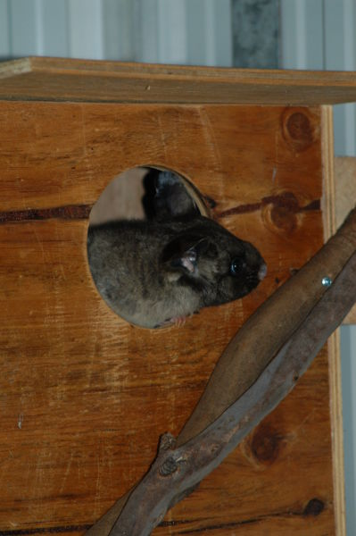 Yellow-bellied Glider in nesting box