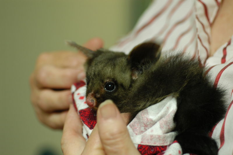 Yellow-bellied Glider in the care of WIRES Central Coast, 106g - 4