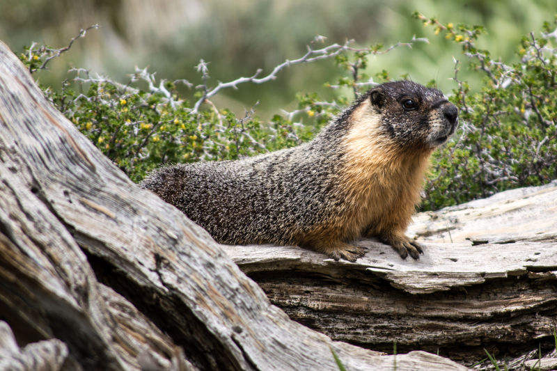 Yellow-bellied marmot at home on his den in a fallen pine.
