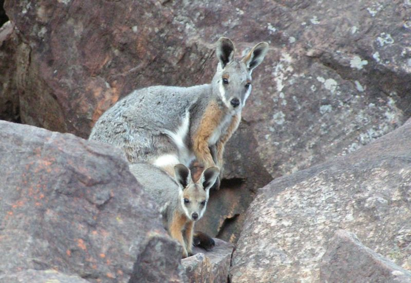 Yellow Footed Rock Wallabies