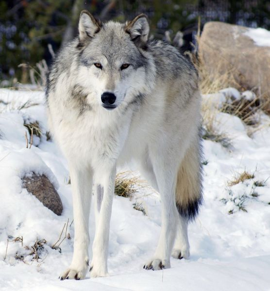 Northwestern Wolf photo