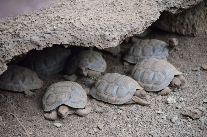 Young Galapagos Tortise