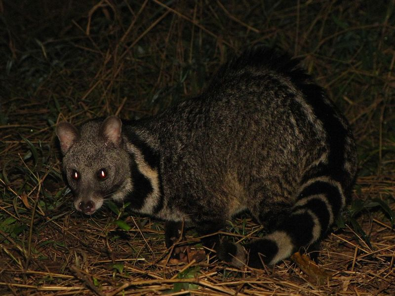 Large Indian Civet photo