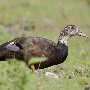 _73A5377-白翅栖鸭 White-winged duck