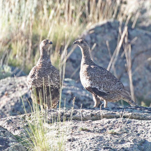 079 - GUNNISON SAGE GROUSE (7-22-2015) rte 38, south of gunnison, gunnison co, co -04
