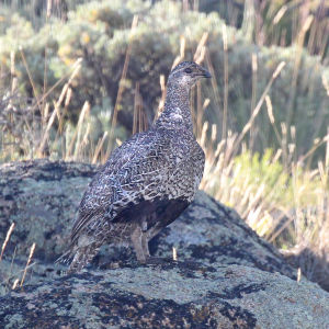 079 - GUNNISON SAGE GROUSE (7-22-2015) rte 38, south of gunnison, gunnison co, co -10