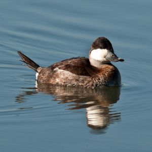 Ruddy Duck photo