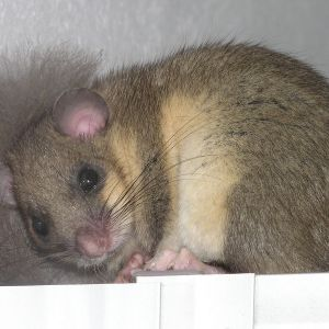Edible Dormouse photo