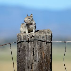 California Ground Squirrel photo