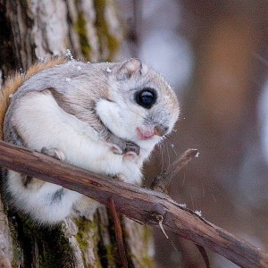 Siberian Flying Squirrel photo