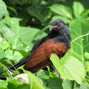 Greater Coucal photo