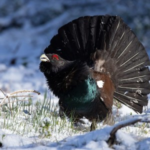 Western Capercaillie photo