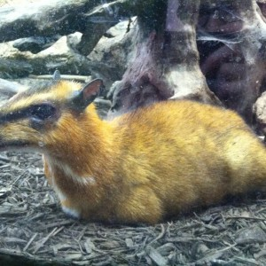 Greater Mouse-Deer photo