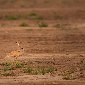 Great Indian Bustard photo