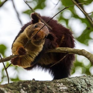Indian Giant Squirrel photo