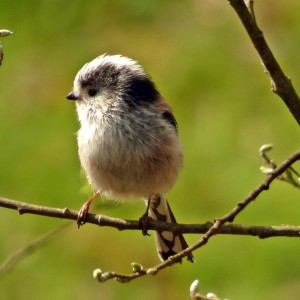 17046 Long Tailed Tit
