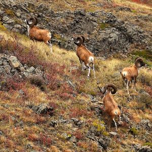 Argali photo
