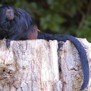 Black Lion Tamarin photo