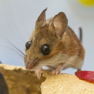 White-footed Mouse photo