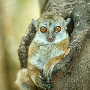 Ankarana Sportive Lemur photo