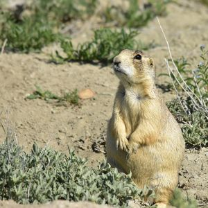 White-Tailed Prairie Dog photo