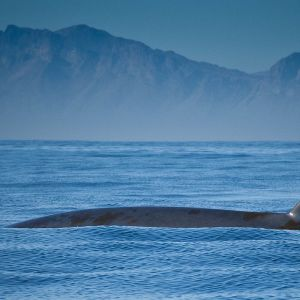Bryde's Whale photo
