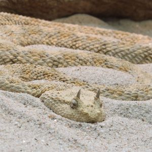 Saharan Horned Viper photo
