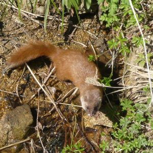 Japanese Weasel photo