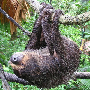 Hoffmann's Two-Toed Sloth photo
