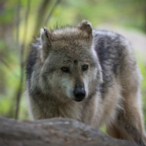 Wolf in Front of Forest