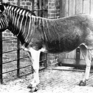 Quagga photo