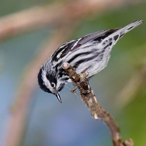 Black-and-White Warbler photo