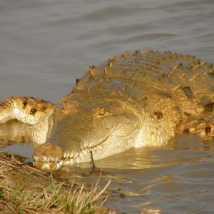 Orinoco Crocodile photo