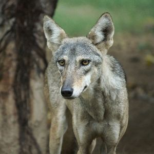 Indian Wolf photo